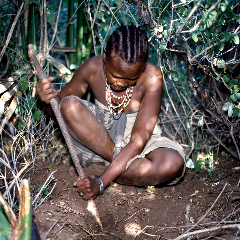 A Hazda woman digs for tubers with a digging stick.